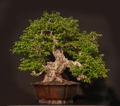 Oriental Hornbeam Carpinus orientalis Size: 85cm Collected in 2013.