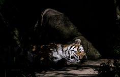 Spotlight Tiger by Evanescent-Chaos on DeviantArt