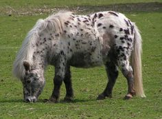 Shetland Pony. The Shetland pony is tough little horse native to the Shetland Islands of northern Scotland.
