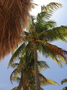 Playa del Carmen, coconut palm tree.