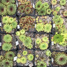 Sempervivum calcareum spezies