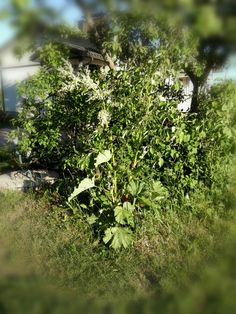 Raparperi kukkii Parsley, Herbs, Plants, Herb, Plant, Planets, Medicinal Plants