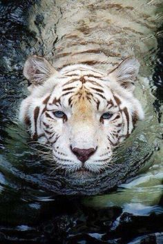♡♥A bengal white tiger swims in water - click on pic to see a full screen pic in a better looking black background♥♡