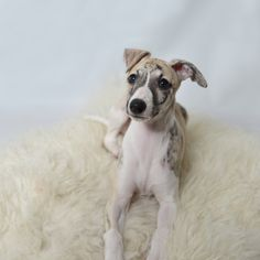 Vilma the Whippet, 4 months