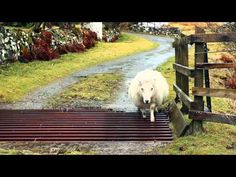 Clever Sheep Figures Out a Way to Traverse the Pesky Cattle Grate That Is Obstructing Her Path