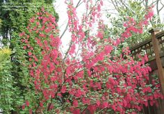 Bloom for Apr. 16, 2012: redflower current (Ribes sanguineum) 'Elk River Red. Photo by cg_portland