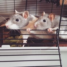 Maxy-Moo and Lady Leo could easily be on an album cover with this pose! #aww #cute #rat #cuterats #ratsofpinterest #cuddle #fluffy #animals #pets #bestfriend #ittssofluffy #boopthesnoot