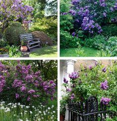 Vysněná zahrada: Šeříky v zahradě