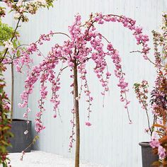 Cheal's Weeping Cherry Pot - Prunus Kiku-shidare-zakura By Frank P Matthews™ Cherry Blossom Tree, Blossom Trees, Weeping Cherry Tree, Weeping Trees, Baumgarten, Root System, Deciduous Trees, Prunus, Garden Trees