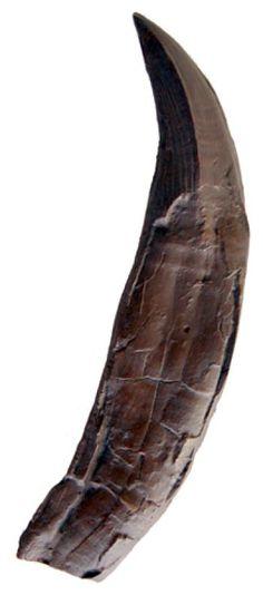 Pliosaur tooth, giant marine reptile