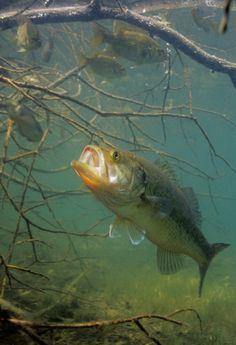Bass expert Hal Schramm explains exactly how bass hunt, strike, and eat their prey.