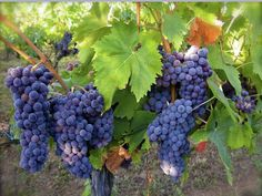 Syrah Producers Sonoma Valley California - The Fifth Path of Wine Champs, Wine Making Equipment, Red Blend Wine, Champagne, Wine Safari, Black Grapes, Growing Grapes, Wallpaper Free Download, Fall Harvest