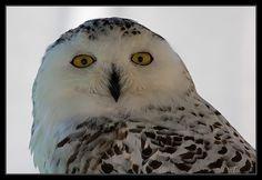 Buho nival - mussol nival - Snowy Owl                                                                                                                                                      Más