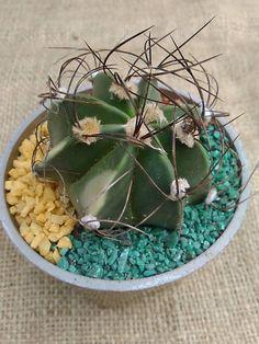 Astrophytum capricorne hibrido