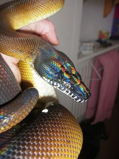 White lipped pythons!!! - Reptile Forums