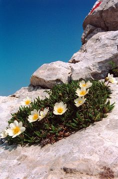 Mountain Aven wildflower- A deliciously pretty plant, made all the more so by the contrast with the rocky, brutal places where it tends to grow. Rock Flowers, Flowers Nature, Wild Flowers, Beautiful Flowers, Alpine Garden, Alpine Plants, Alpine Flowers, Plant Species, Garden Plants