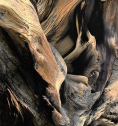 Windswept Roots Colorado Ancient Bristlecone Pine Root Rich Wood Tones Cabin Rustic Nature Photograph by TheForestsEdgePhotos on Etsy Pine Tree Art, Bristlecone Pine, Tree Roots, Weathered Wood, Natural Texture, Natural Wood, Dark Beauty, Wabi Sabi, Mother Nature
