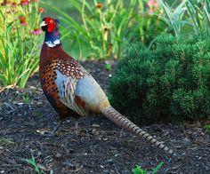 ringed neck pheasant