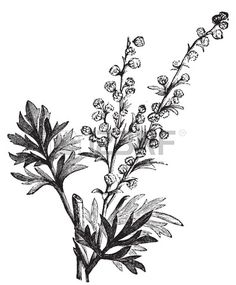 Absinthe plant, Artemisia absinthium or wormwood engraving illustration, isolated on white. Also called (absinthium, absinthe wormwood, wormwood, common wormwood, Green Ginger or grand wormwood. Vintage illustration.