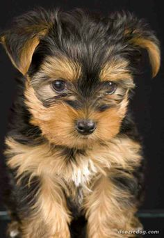 Yorkie Pup. Cute! But not as cute as my Maltese. She's 6 1/2 years old & still looks like a puppy!