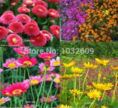 Daisy flower mix colors 200pcs Ornamental Flower Seeds bonsai sementes de flores plants for small gardens