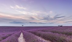 It looks as if the clouds are reflecting off of this lavender field.