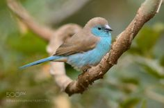 "creatures-alive: "" Blue Waxbill by Stef Broodryk """