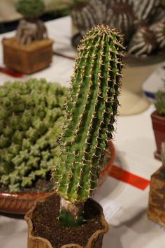 https://flic.kr/p/LMfbSe | Euphorbia columnaris CSA 2013.JPG