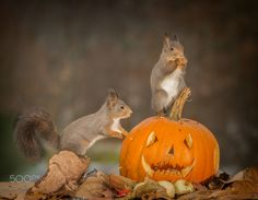 monstress - red squirrels standing with a halloween pumpkin one touching it the other on it