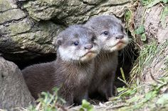 Otters at Blackpool Zoo