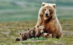 My favorite grizzly mama with her 4(!) cubs.