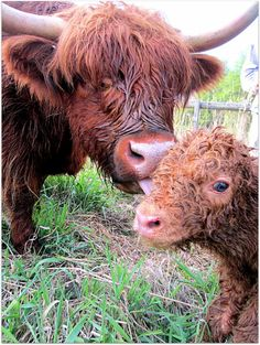 Scottish Highland cow with calf Aww! Scottish Highland Cow, Highland Cattle, Scottish Highlands, Vegan Animals, Farm Animals, Animals And Pets, Cute Animals, Vida Animal, Mundo Animal