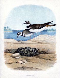 Free Vintage Seabird Printable! - The Graphics Fairy