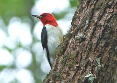 red headed woodpecker | by hennessy.barb