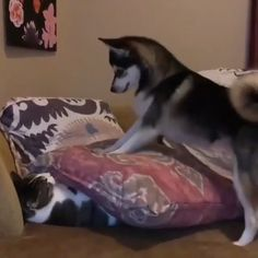Cute Funny Dogs, Cute Funny Animals, Cute Baby Animals, Cute Cats, Funny Dog Videos, Funny Animal Memes, Funny Animal Pictures, Cute Animal Videos, Cute Puppies