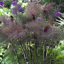 bronze-fennel-approx-130-seeds-from-2014-perennial