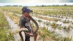 Amazing young boys catch Big Snake on the Rice Field /Amazing Brave boys...
