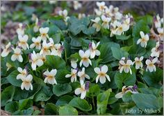 Viola odorata var. sulphurea
