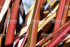 New Zealand Flax (Harakeke) Plant Background royalty-free stock photo New Zealand Flax, Flax Plant, Plant Background, Abstract Photos, Image Now, Close Up, Royalty Free Stock Photos, Plants, Pink