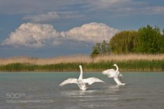 Balaton by tamasvoros. How Beautiful, Countryside, Culture, City, Animals, Animales, Animaux, Cities, Animal