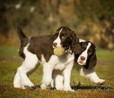 Are You an Ideal Owner of English Springer Spaniel Puppies?