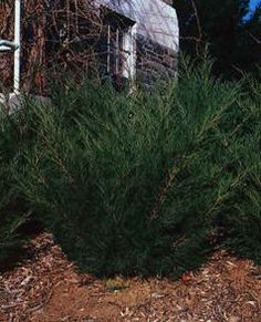 Evergreen Trees For Special Priced Nursery Stocktree Moving Tree S Services Planting Southeastern Wisconsin Transplanting Available