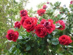 Rosas da vó.