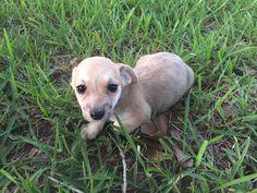 Teddy, an adorable Chi/Maltese mix baby boy