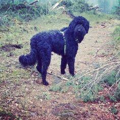 Blogissa tietoja rakkaan eläinystäväni diagnoosista  My furry friend has a chronic disease. #uusipostausblogissa #linkkiprofiilisssa @kodinkuvalehti #kodinkuvalehti #moreontheblog #linkinbio #australianlabradoodle #australiancobberdog #doodlesofinstagram #dogsofinstagram #instadog #mydog #ilovemydog