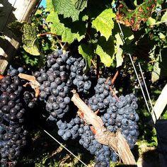 variété de raisins. Winelovers, Bordeaux, Castle https://instagram.com/winetourbooking/