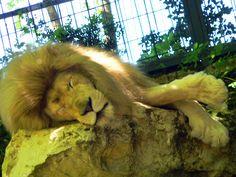 Zoo de Beauval - Lion 19