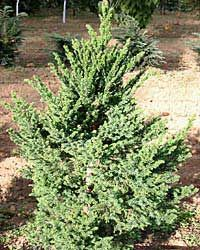 Nursery Fruit Tree Shrub Northwest Dwarf Japanese Maple Conifer Workshops Growing Information