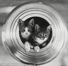 a ship's cats, on the Royal Navy vessel HMS Hawkins (right)