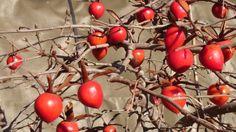 ロウアガキ 老鴉柿、老爺柿 wintersweet